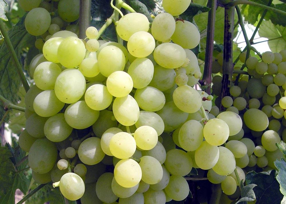 Stolní odrůda révy Vostorg