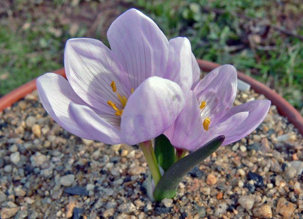 Colchicum bifolium