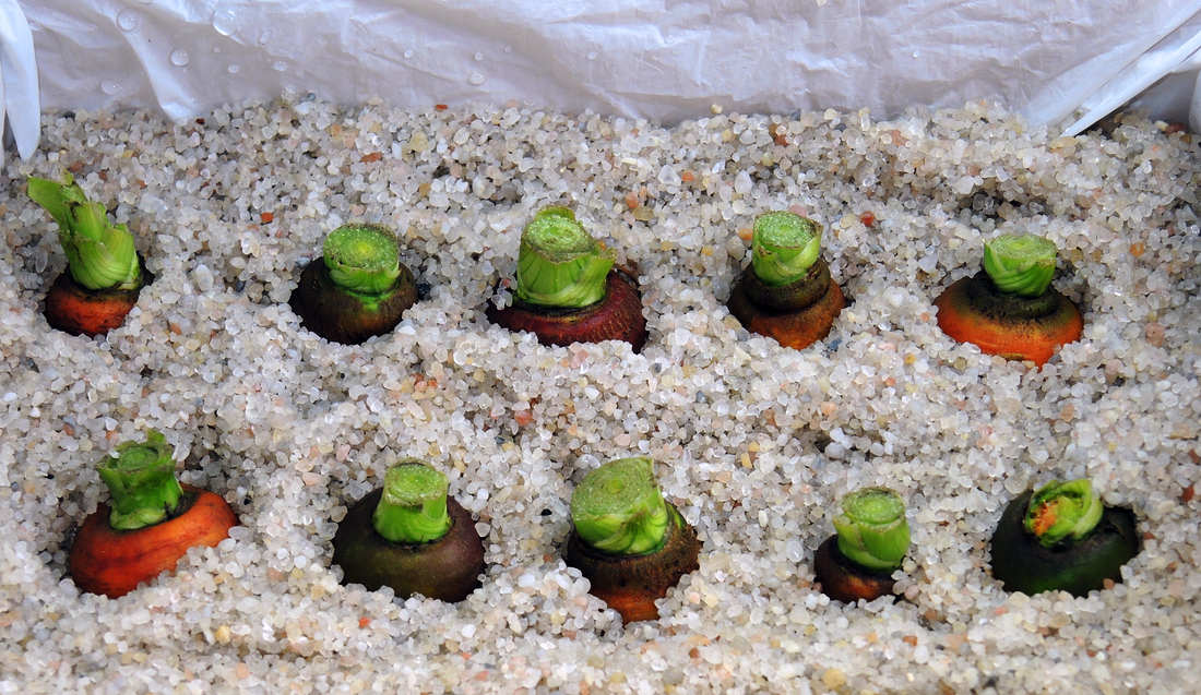 Kořenové zelnině je ve vlhkém písku dobře