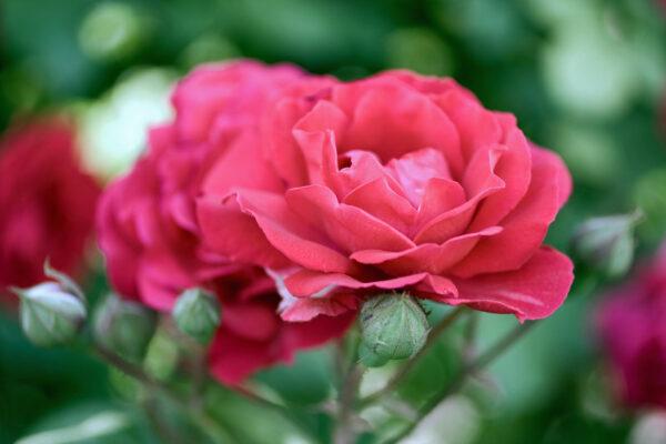 Květ se pěstiteli odmění za péči krásou