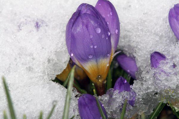 V teplém počasí vykvétají šafrány už koncem února