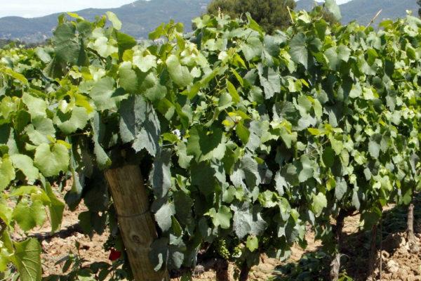 Vinohrad po osečkování