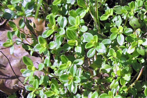 Mateřídouška Thymus-pulegioides