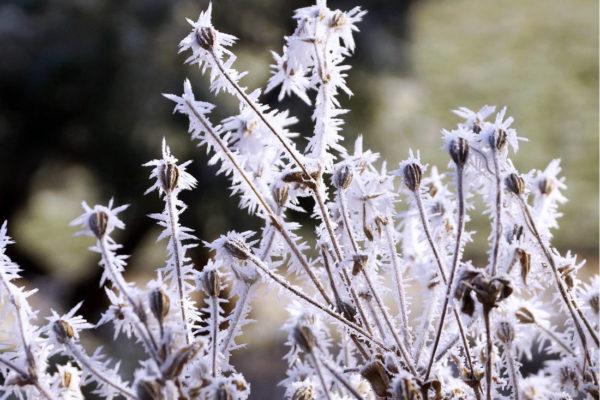 Některá semena získají schopnost klíčit, až když přemrznou