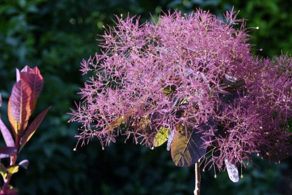 Ruj vlasatá (Cotinus coggygria) má jedovaté listy a plody