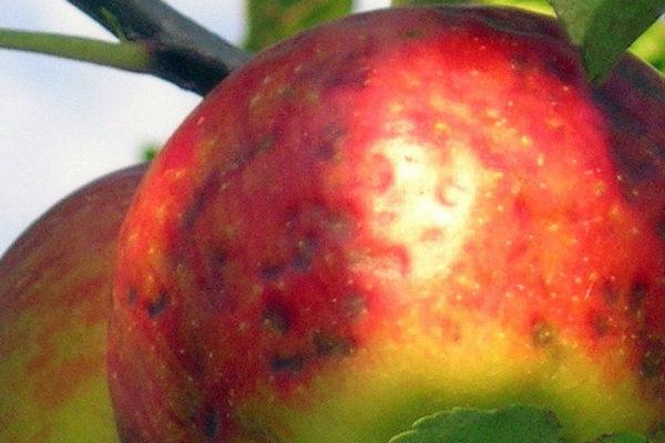 Hořká pihovatost jablek