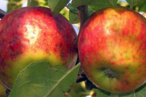 Hořká skvrnitost jablek