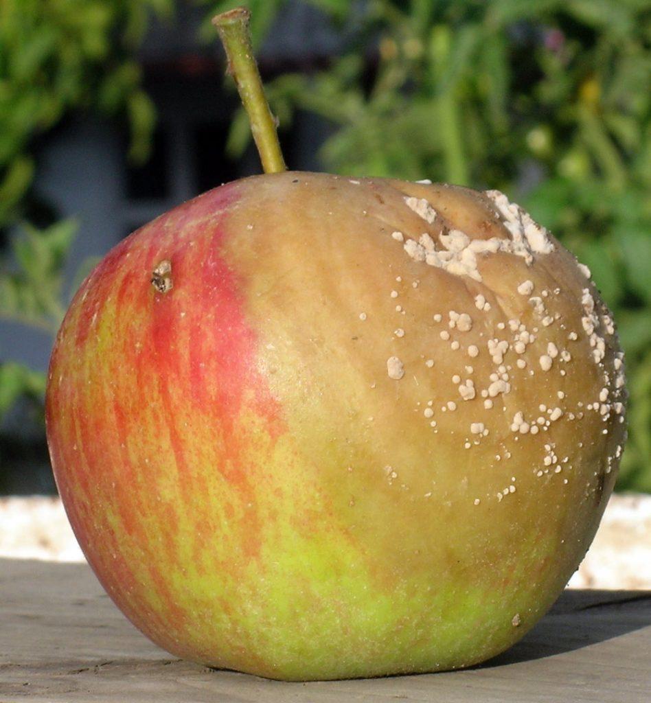 Moniliová hniloba jablek