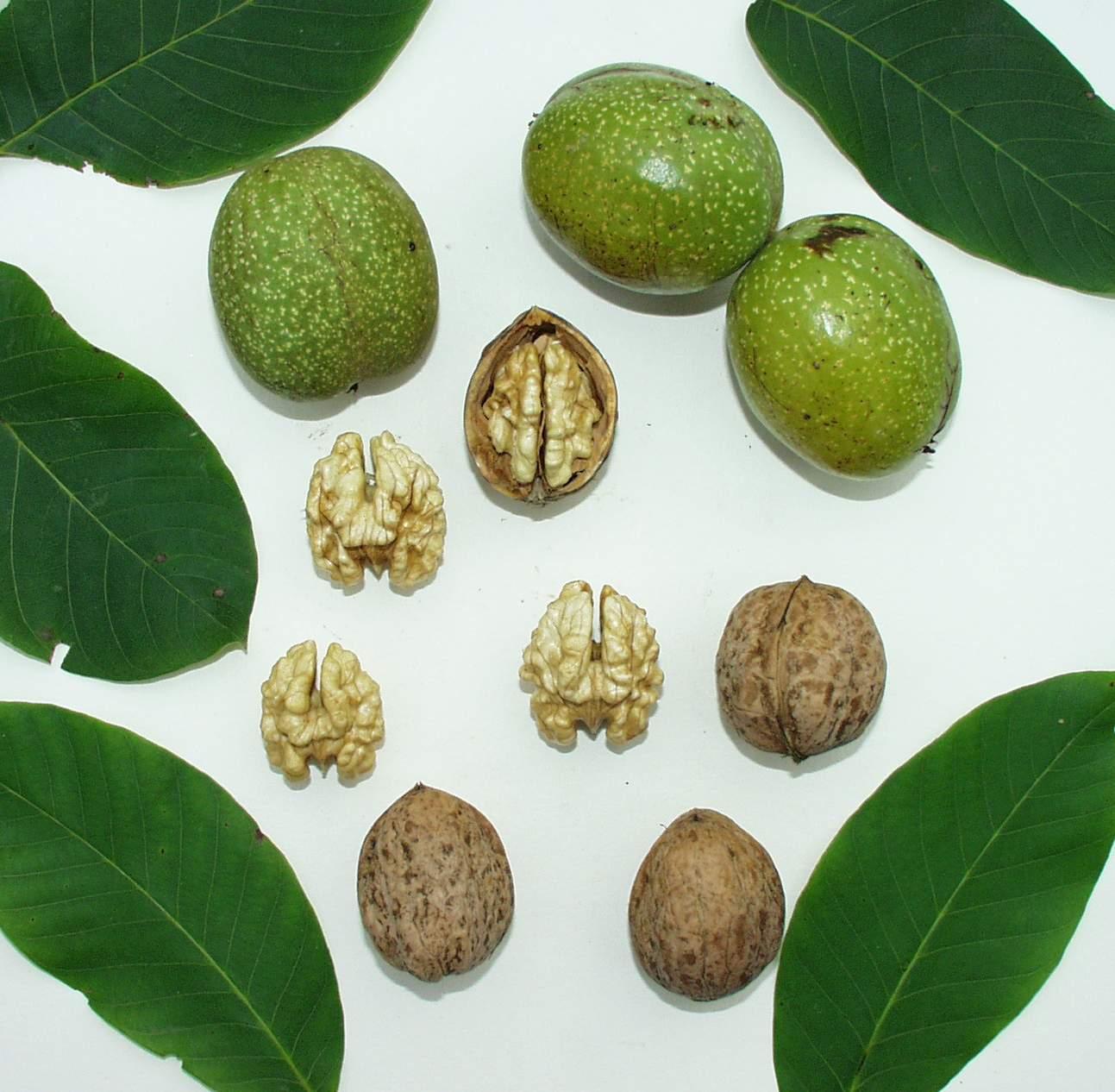 Odrůda Seifersdorfský ořešáku
