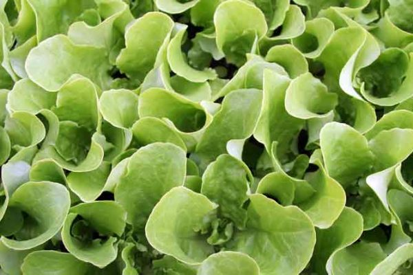 Sadba salátu