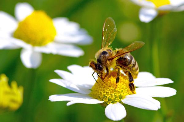 Včely z úlu na zahradě zastoupí i včely z hnízda