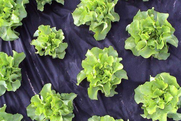 Mulčování salátu černou textilií
