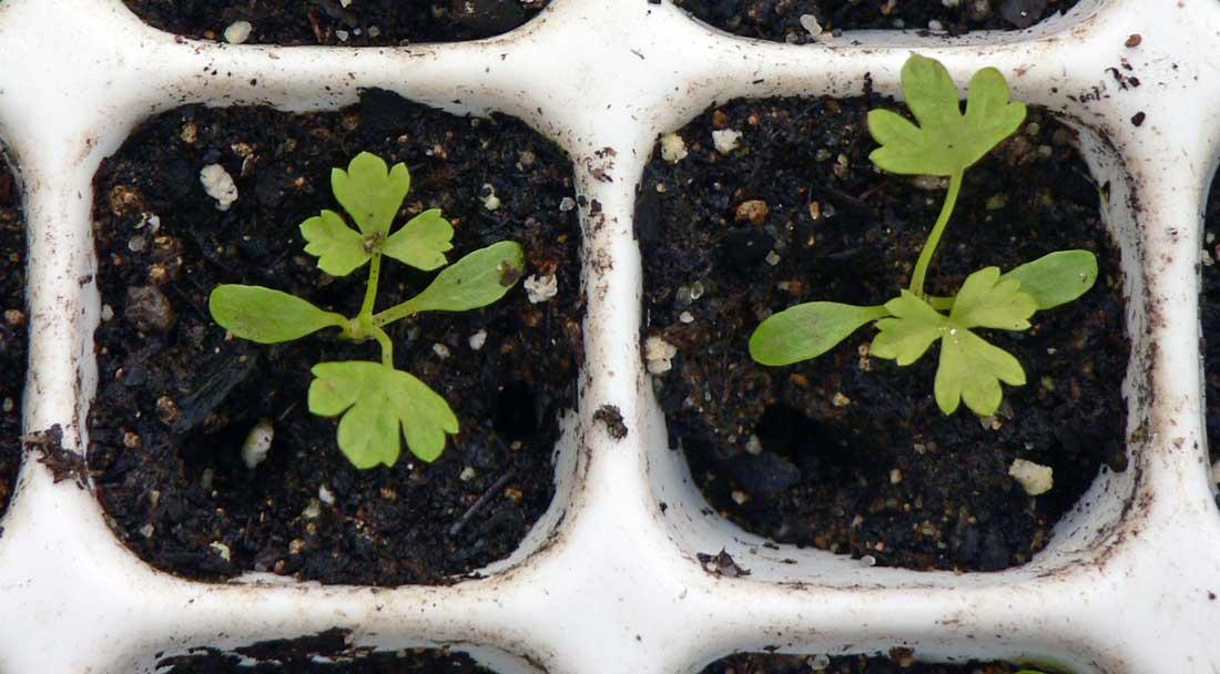 Rostliny celeru