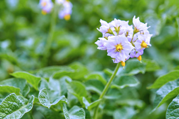 Brambory kvetou