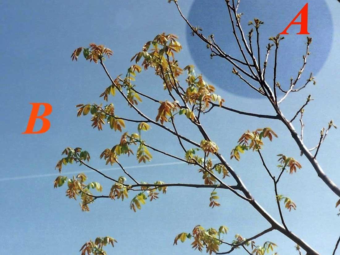 Termíny řezu po narašení podle délky přírůstků a průměru větví