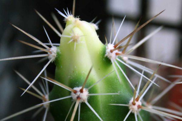 Stonek kaktusu deformovaný nedostatkem světla během přezimování