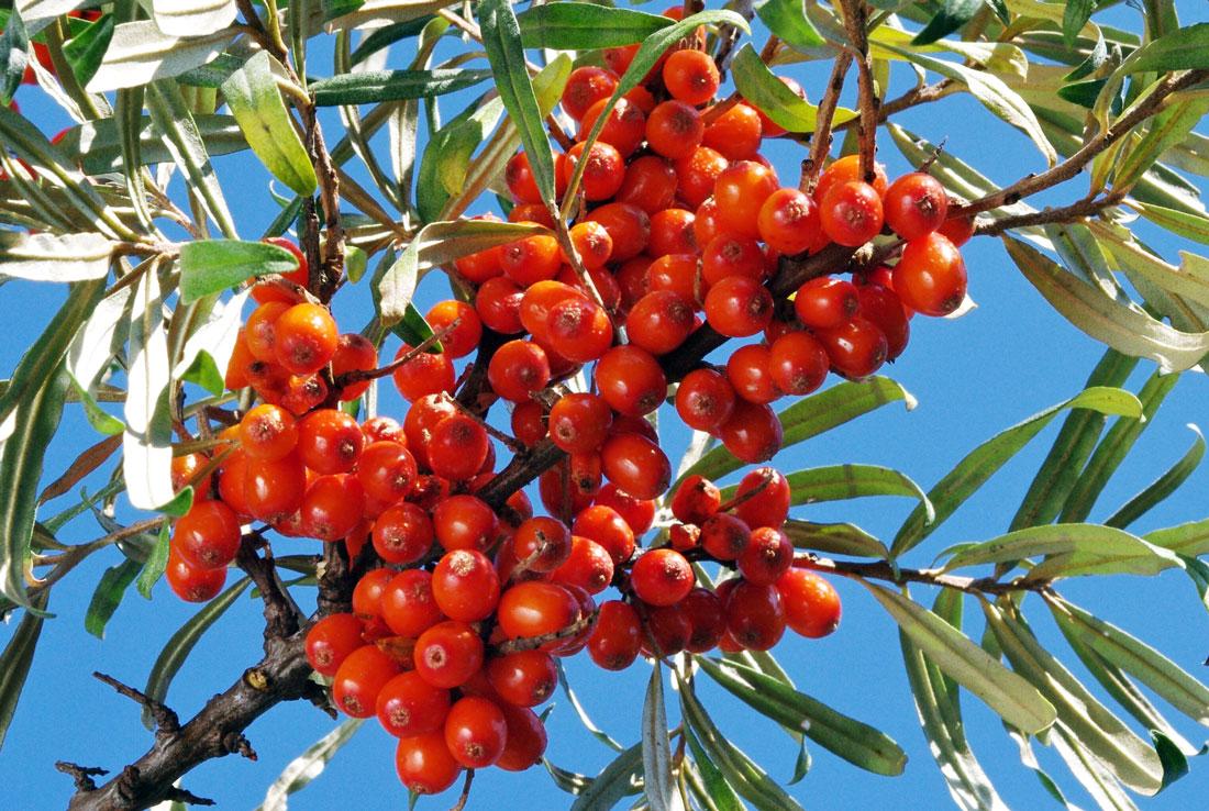 Plody rakytníku odrůdy Krasavice na keři