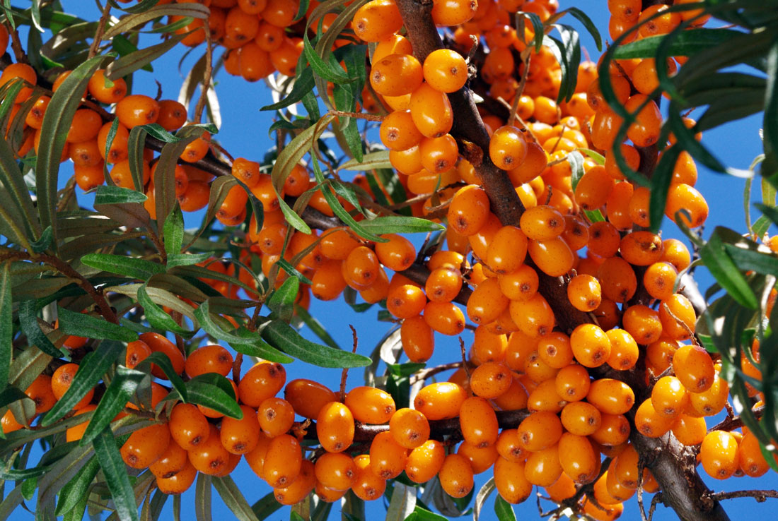 Plody rakytníku odrůdy Sluníčko