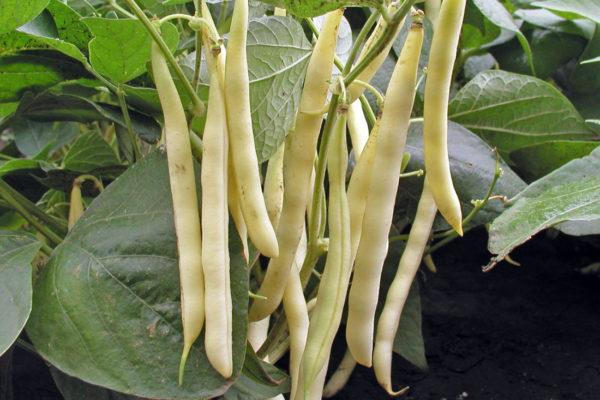 Keříčková odrůda Rias