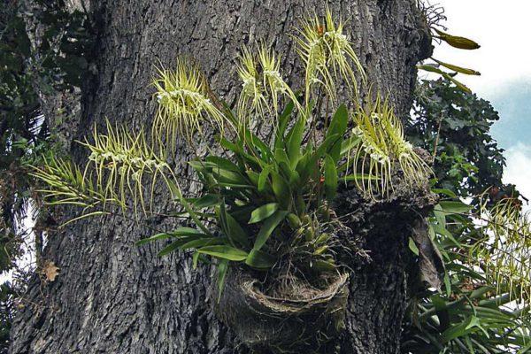 Epifytická orchidej