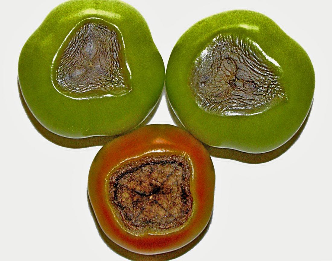 Abiotická nekróza rajčete