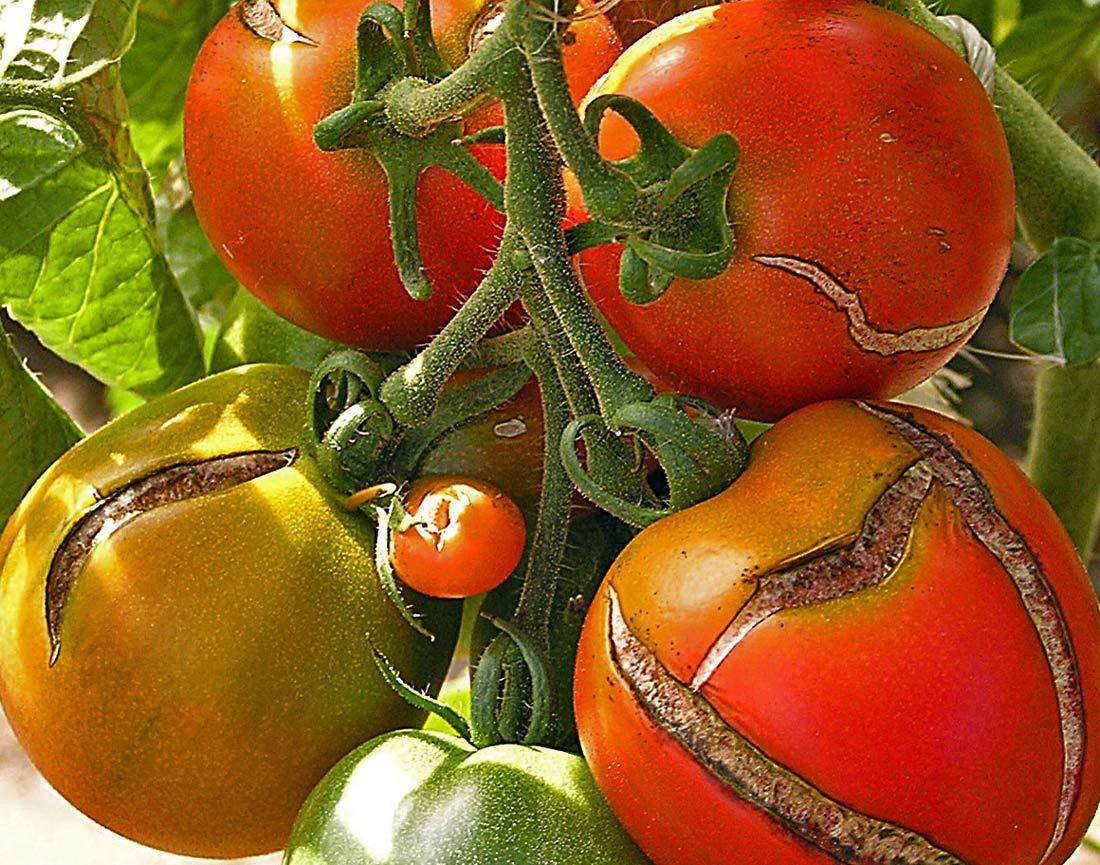 Popraskaná slupka rajčete