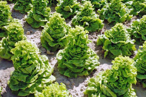 Salátům chybí vláha, vybíhají do květu