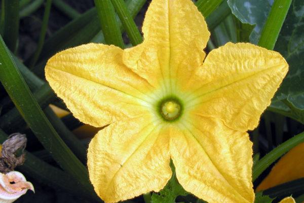 Cuketový květ
