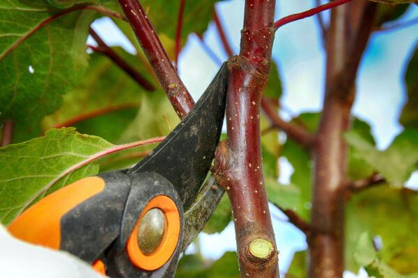 Řez mladé jabloně za zelena