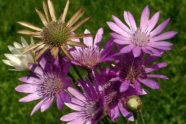 Květy pro sušení