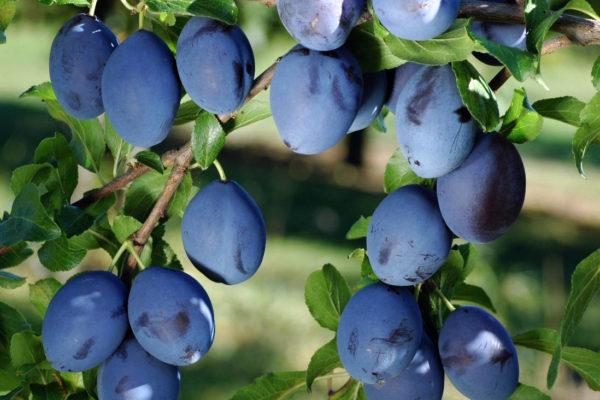 Gabrovska, odrůda pravé švestky