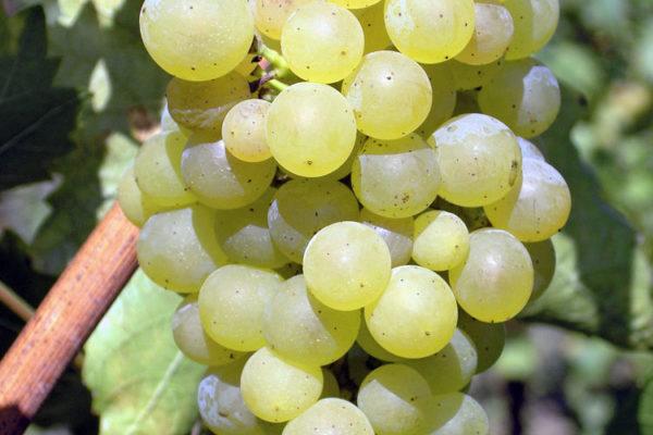 Réva odrůdy Göcseji Zamatos