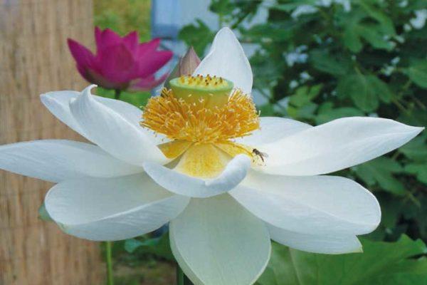 Alba Grandiflora, květ lotosu
