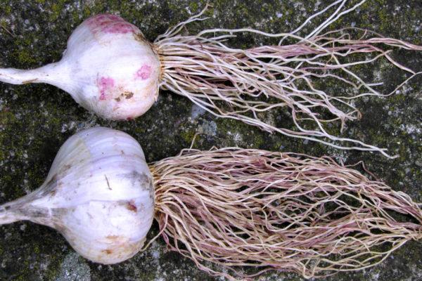 Červenání kořenů česneku