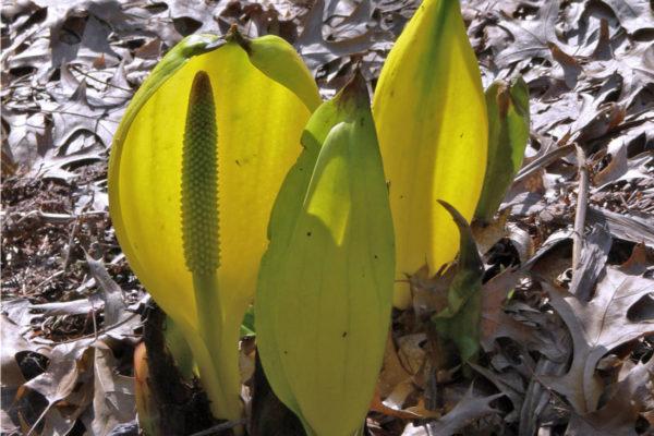 Lysichiton, arónovitá rostlina