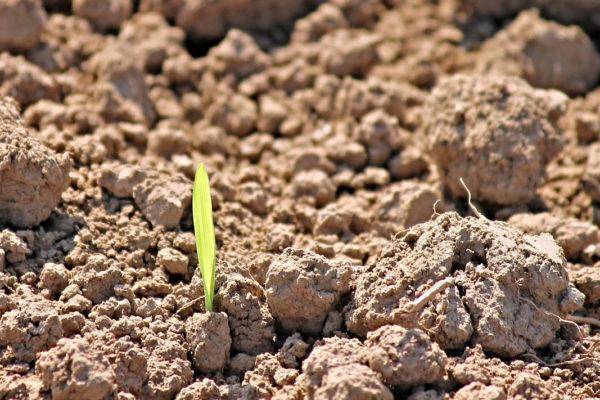 Rašení zele ého hnojení