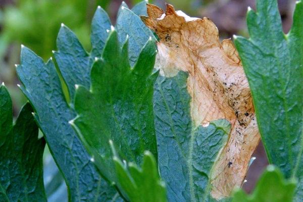 Stopy larvy vrtule celerové