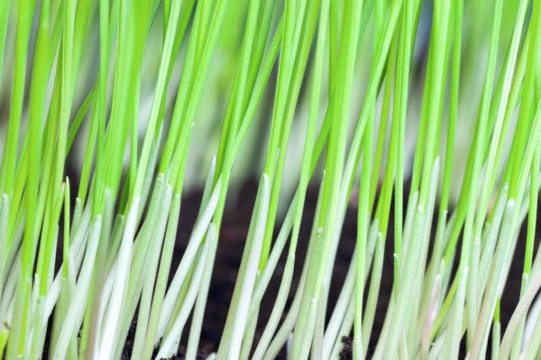 Z obilí se jako zelené hnojení využívá žito