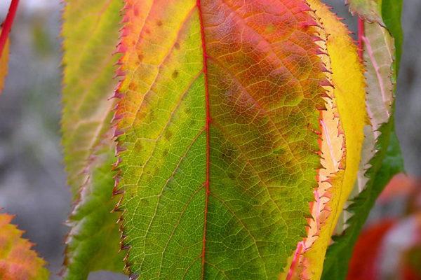 Spodzimem zoubkaté listy získávají škálu barev