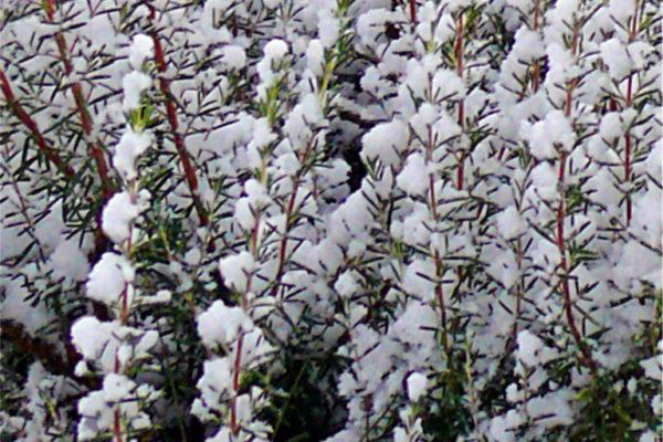 Rozmarýn přečkal zimu
