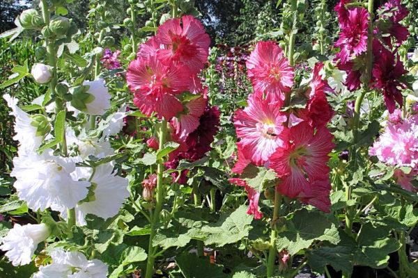 Květy topolovky