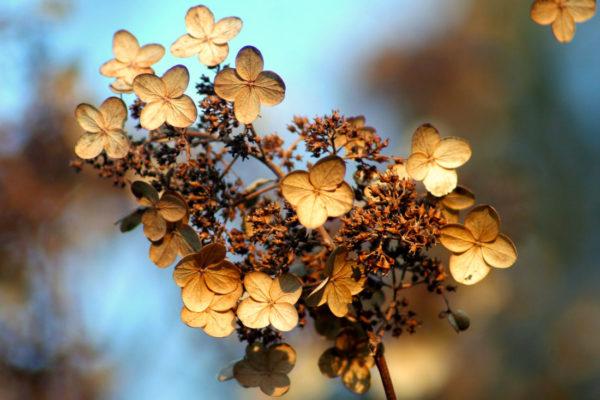 Podzimní hortenzie