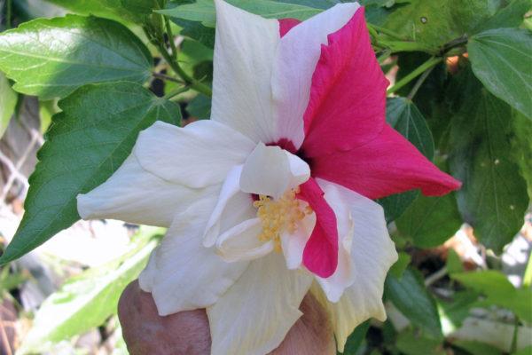 Dvě barvy květu ibišku