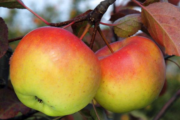 Jablka Gioldstar na jednoletém výhonu
