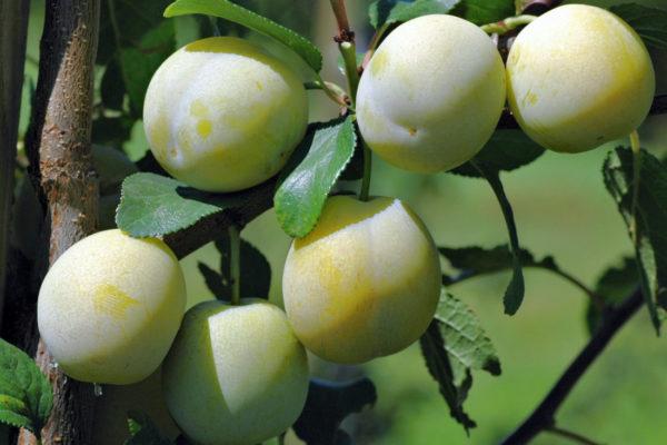Zatím nezralé plody mirabelky Bellamira