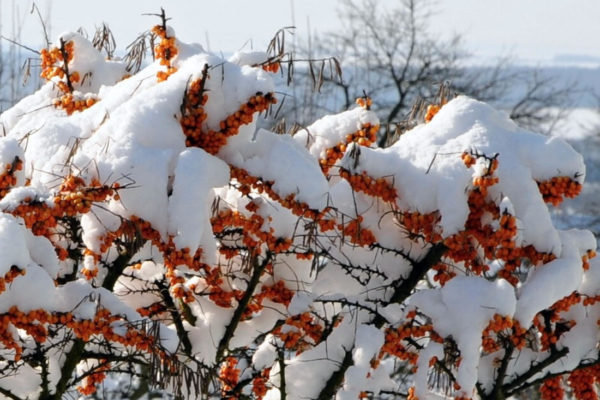 Rakytník pod sněhem
