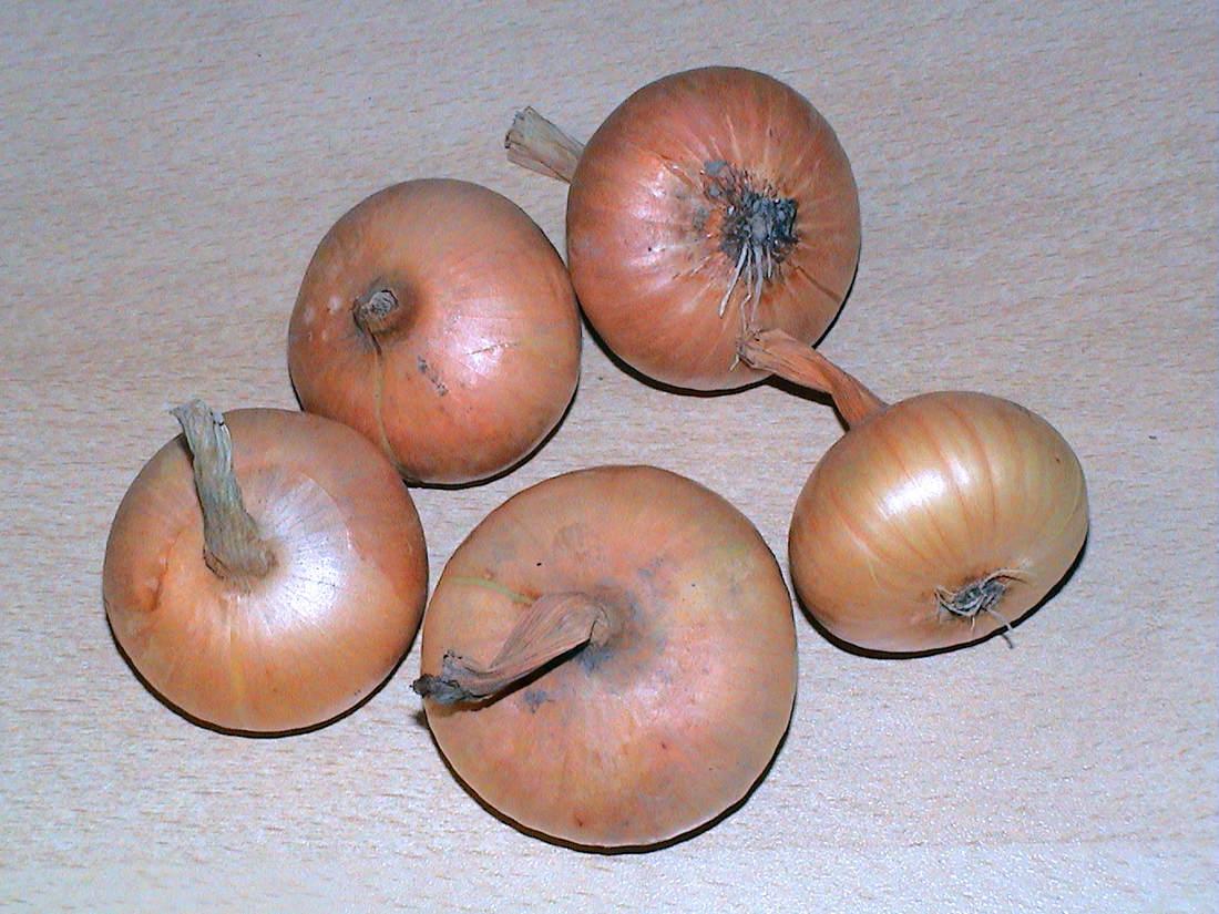 Odrůda cibule Štutgartská