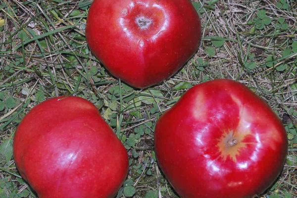 Jablka odrůdy Newton Wonder