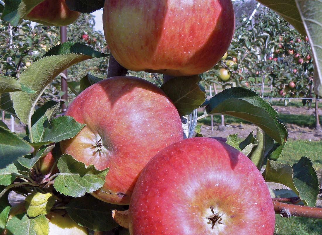 Jablko odrůdy Vanda