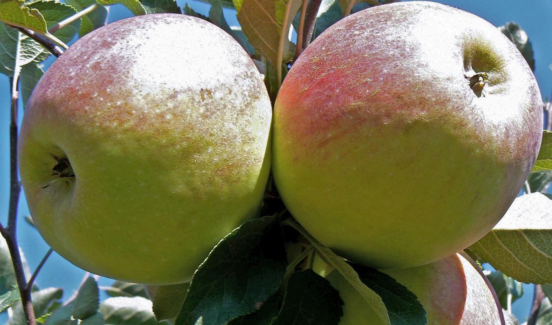 Jablka zimní odrůdy Sentima – syn. HL VI-37-8.